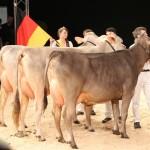 Brown Swiss-Bundesjungzüchterschau 2021